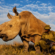 Saving The Rhinoceros