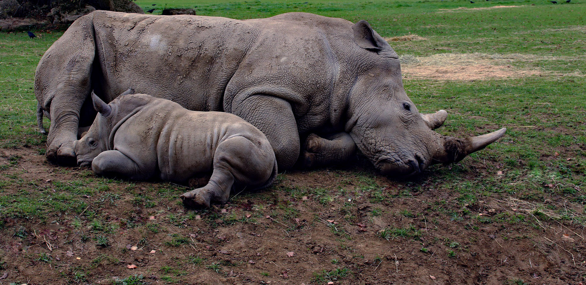 adult rhino and baby